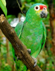 2 Red Lored Parrot r alison 234x300