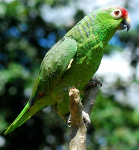 2 red lored parrot r alison 278x299