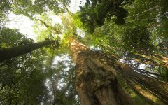 almendro_tree_selva_verde_001.jpg